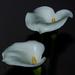 Arum Lilies by salza