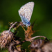 Common blue - 20-08 by barrowlane