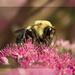 BumbleBee  by lyndemc