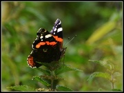 21st Aug 2014 - Butterflies are still about