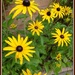 Black eyed Suzy - Rudbeckia by beryl