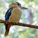 Blue Winged Kookaburra by bella_ss