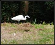 22nd Aug 2014 - Little egret