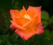 22nd Aug 2014 - Lilliane's Orange Rose
