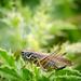 Grasshopper - 24-08 by barrowlane