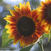 Sunflowers, Late Afternoon
