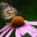 Monarch by kathiecb