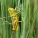 Grasshopper poser
