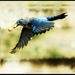 Scrub jay in flight by teiko