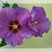 Hibiscus Framed