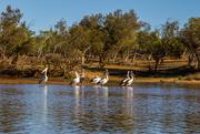 19th Aug 2014 - Australian pelicans