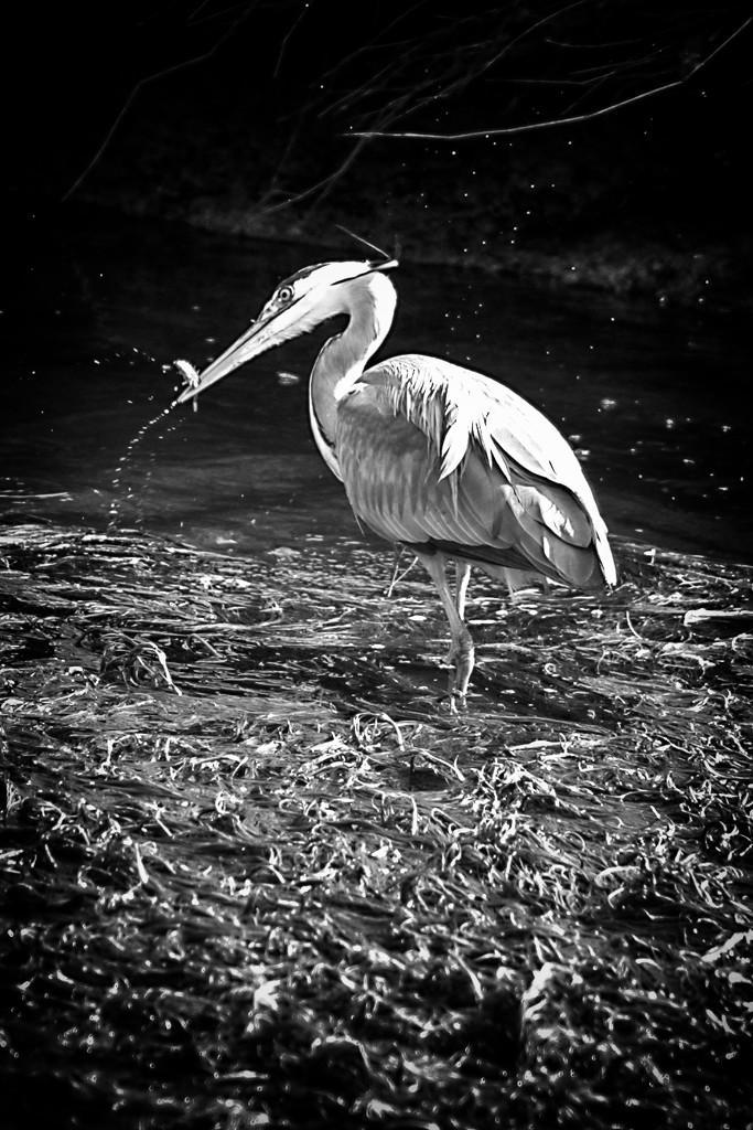 Grey Heron. by gamelee