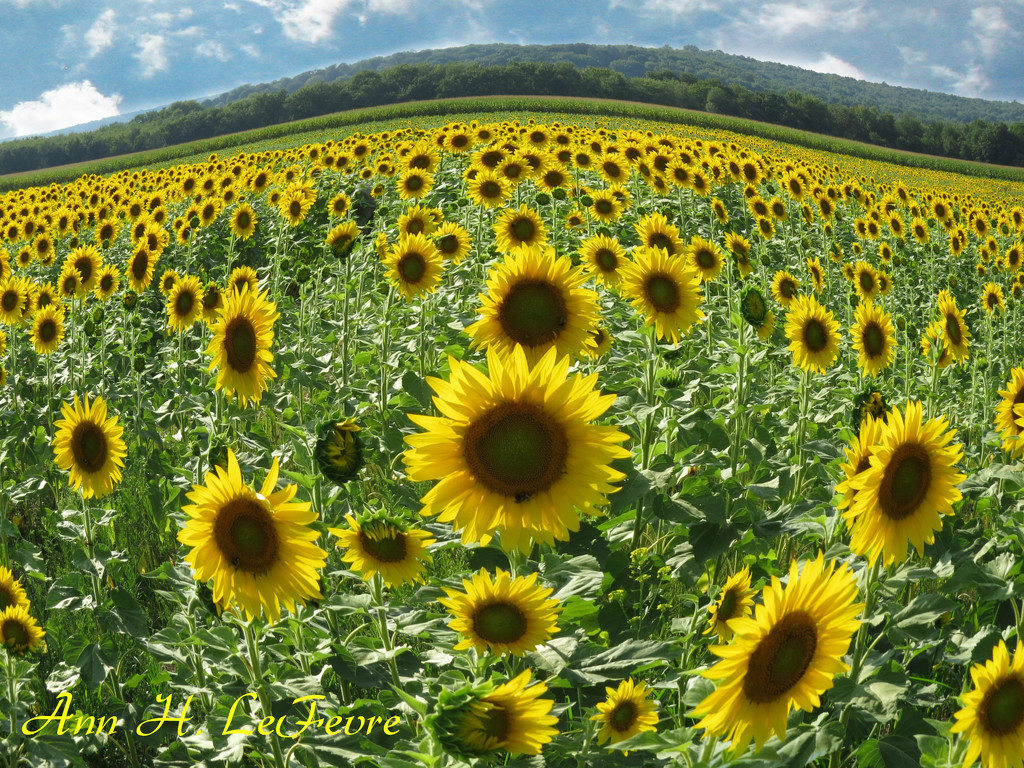 Sussex County Sunflower Maze by olivetreeann