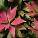 Pieris leaves