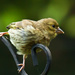 26th August 2014 - Baby Greenfinch by pamknowler