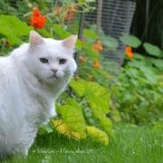 25th Aug 2014 - Moustique, the handsome cat