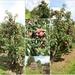 Harvest time II Apples