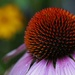 Coneflower in Color by mzzhope