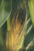 25th Aug 2014 - Corn in the Field