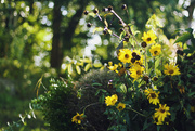 24th Aug 2014 - Happy fall flowers
