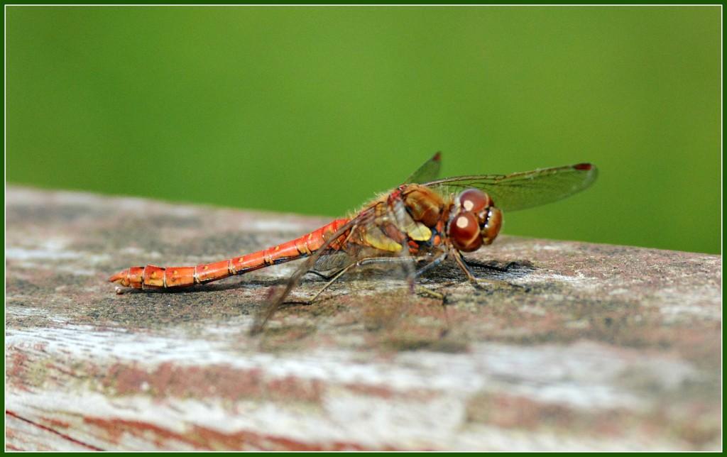 Dragonfly by rosiekind