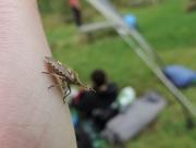 26th Aug 2014 - Hairy shieldbug