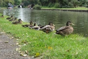 27th Aug 2014 - 2014 08 27 - Got My Ducks Lined Up