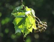 19th Aug 2014 - Wild Service tree