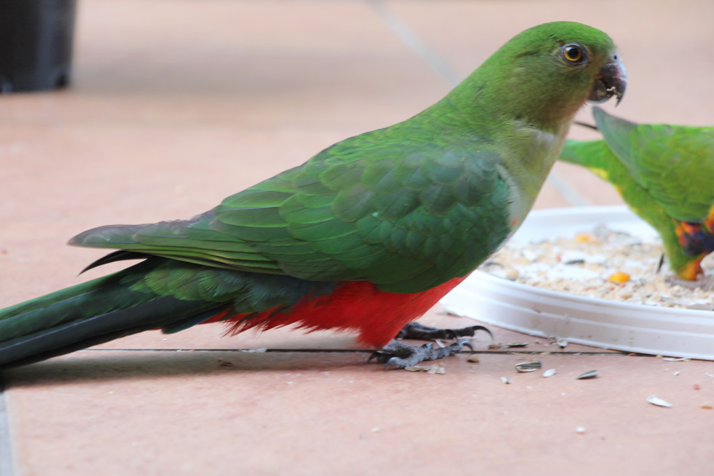 King Parrot - Hen by terryliv