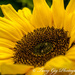 Sunflower by tonygig