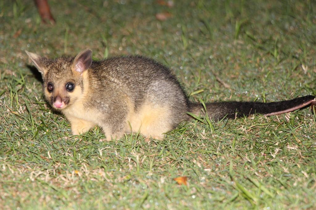 Joey Possum by terryliv