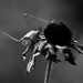 Katydid in Black and White