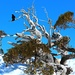Raven in the Snowy Mountains by leestevo