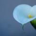 Arum Lily by salza