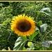 Our friend Dave's happy sunflower