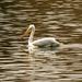 Pelican by nanderson