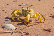 28th Aug 2014 - Golden ghost crab