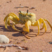 Golden ghost crab by gosia
