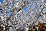 1st Sep 2014 - Snow Trees
