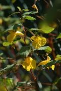 31st Aug 2014 -  Yellow balsam