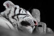 1st Sep 2014 - White Tiger