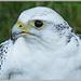 Gyr Saker Falcon Profile by carolmw