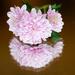 Chrysanthemum on mirror by elisasaeter