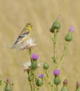 2nd Sep 2014 - Finch & Thistle