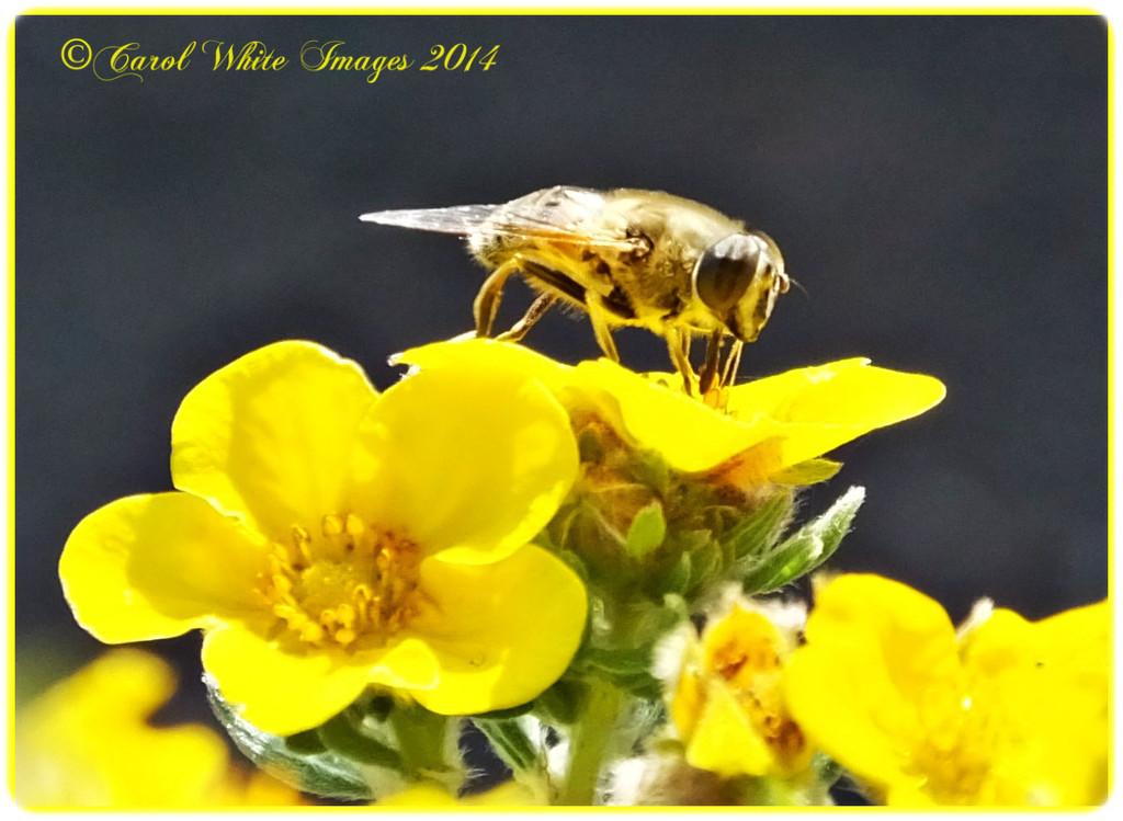 Hoverfly by carolmw