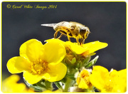3rd Sep 2014 - Hoverfly