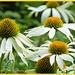 Echinacea by carolmw
