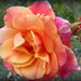 pink and orange and..... by quietpurplehaze