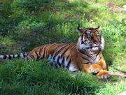 3rd Sep 2014 - tiger tiger