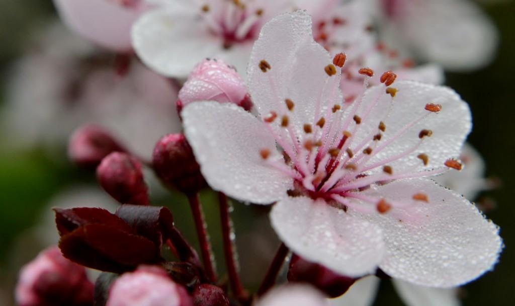 Blossom & buds. by dianeburns